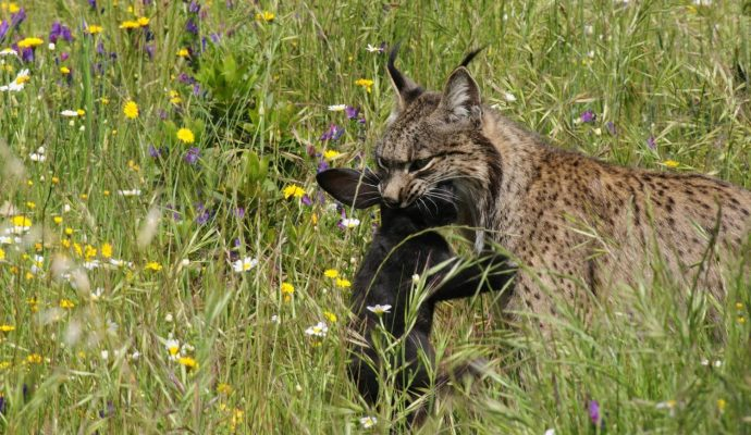 cropped-lince5.jpg