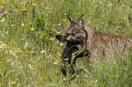 lince5